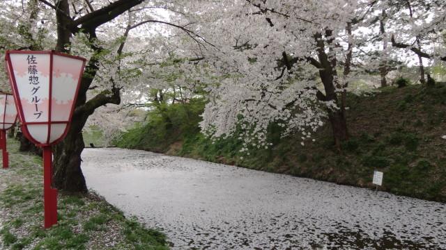 аомори сакура цветение